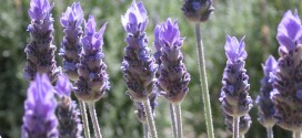 LAVANDA-ESPLIEGO (lavandula officinalis)