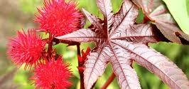 RICINO (ricinus communis L.)